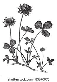 White Clover or Trifolium repens, vintage engraved illustration. Trousset encyclopedia (1886 - 1891).