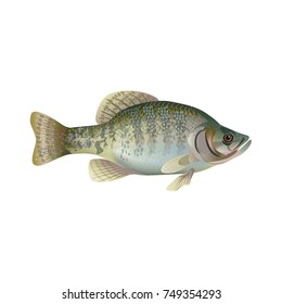White crappie. Vector illustration isolated on the white background