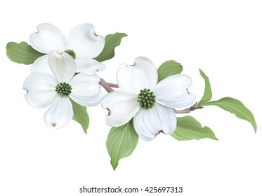 White Dogwood (Cornus florida). Hand drawn vector illustration of blooming dogwood on transparent background.