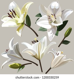 White flowers of Lily on light background.