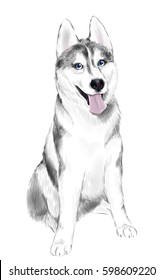 White And Gray Adult Siberian Husky Dog Or Sibirsky Husky With Blue Eyes