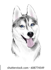 White And Gray Adult Siberian Husky Dog  With Blue Eyes . Face of dog.