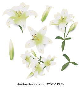 White lily Flower isolated on white background,plants and nature vector illustration,gradient style