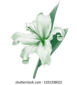 White lily flower realistic, isolated on white background, vector - Vector