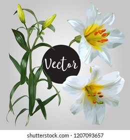 White Lily Flower Vector Design Set