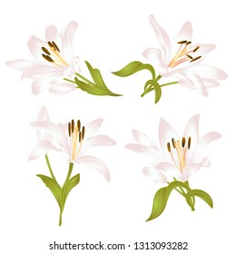 White Lily  Lilium candidum,flower with leaves and bud on a white background set two vintage vector illustration editable hand drawn