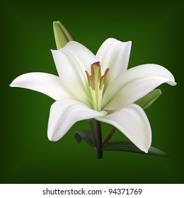 white lily on dark background vector