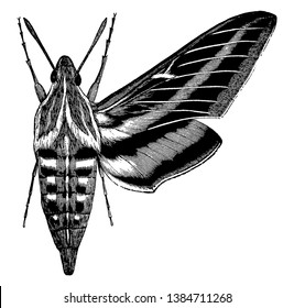 White Lined Morning Sphinx is a common American moth of striking coloration, vintage line drawing or engraving illustration.