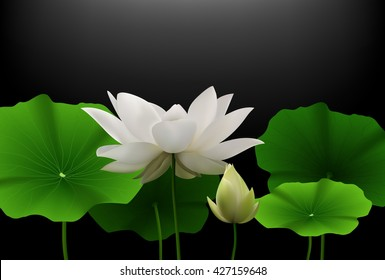 White Lotus flower with green leaves on black background.Vector