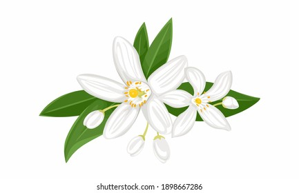White orange flowers isolated on white background. Blooming branch of neroli with buds and green leaves. Vector illustration of a fragrant plant in cartoon flat style.