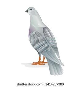 White pigeon breeding bird   domestic breeds sports bird on white background vintage   vector  animals illustration for design editable hand draw