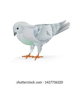 White pigeon  breeding pet bird   domestic breeds sports bird on white background vintage   vector  animals illustration for design editable hand draw