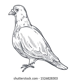 White pigeon, dove bird standing side view, close up, detailed hand drawn sketch, flat vector illustration on white background
