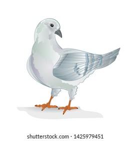 White pigeon dove breeding bird   domestic breeds sports bird on white background vintage   vector  animals illustration for design editable hand draw