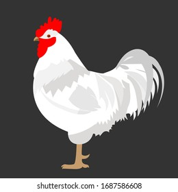 White rooster chicken bird isolated on white background. Poultry, vector stock illustration