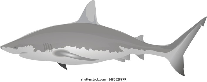 White Shark , Demersal, Marine Fish - Vector