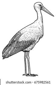 White stork illustration, drawing, engraving, ink, line art, vector