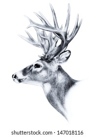 A white tail deer with big trophy antlers in a side view sketch of a very large bucks head. This animal image is a vector illustration that is hand drawn and on white.