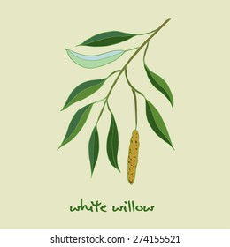 White willow branch