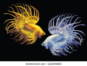 White and yellow Siamese fighting fish on a black background (Betta splendens)