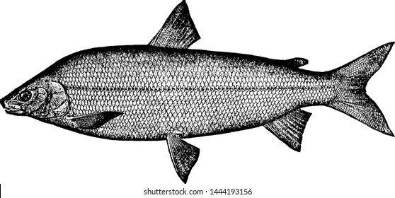 Whitefish, vintage engraved illustration drawing