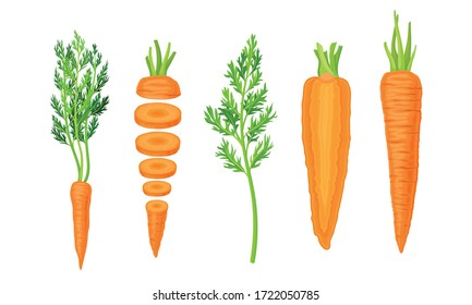 Whole and Chopped Carrot with Top Leaves Vector Set