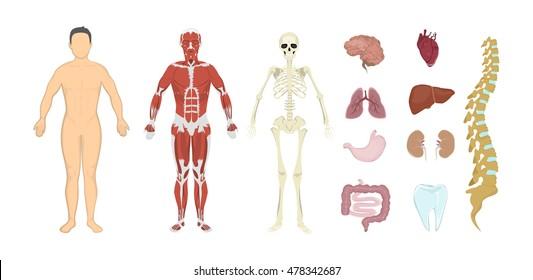 Whole Human Anatomy All Human Body Stock Illustration 523610425