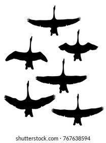 Whooper Swan (Cygnus cygnus) in flight silhouettes set