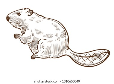 Wild beaver forest animal isolated sketch vector species mammal with long tail building dams rodent family hunting prey Canada symbol aquatic woods creature wildlife fauna representative fat body.