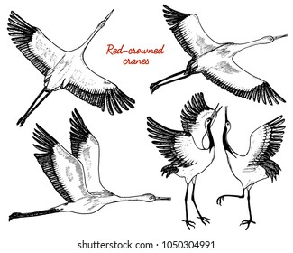 Wild birds in flight. Animals in nature or in the sky. Cranes or Grus and stork or shadoof and Ciconia with wings. engraved sketch hand drawn in vintage style.