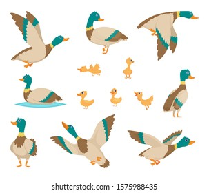 Wild birds. Funny ducks flying and swimming in water brown wings vector birds cartoon style
