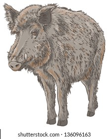 Wild Boar Isolated Vector Illustration