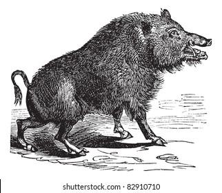 Wild boar or Sus scrofa or Wild pig or Wild hog or Razorback or Boar or European Boar, vintage engraving. Old engraved illustration of Wild boar. Trousset encyclopedia (1886 - 1891).