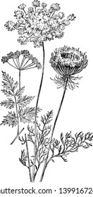 Wild Carrot is biennial herbaceous plant. The leaves are alternate and green, vintage line drawing or engraving illustration.