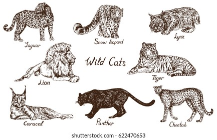 Wild cats set: Jaguar, Snow Leopard (ounce), Lynx (bobcat), Lion, Tiger, Caracal (red cat, rooikat, red or Persian lynx), Black panther, Cheetah, hand drawn doodle, pop art style, vector illustration