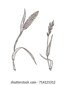 Wild Cereal Herbs Set. Hand drawn Sketch Wild plants. Timothy and Wild Oat Grass. Vector Floral Elements