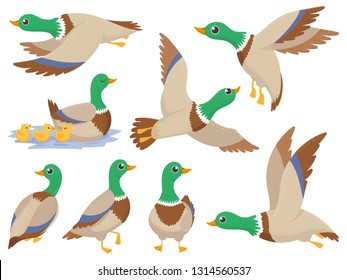 Wild ducks. Mallard duck, cute flying goose and green headed swimming canard. Ducks family, wildlife water lake bird Isolated cartoon vector icons illustration set