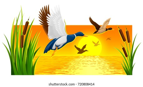 Wild ducks soaring from reeds on lake with bright sun and sunset sky with reflections ripple water at background. Nature evening landscape banner. Eps10 vector illustration.