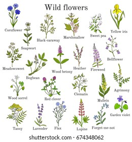 Wild flowers color hand drawn set isolated on white background. Botanical vector illustration