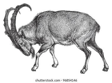 Wild goat (Capra Aegagrus) / vintage illustration from Meyers Konversations-Lexikon 1897
