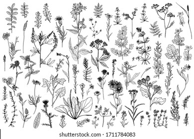 Wild herbs, drawn by a black line on a white background. Vector. Set.