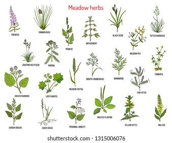Wild meadow herbs and grasses. Hand drawn vector botanical illustration
