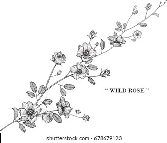 Wild rose flowers drawing illustration vector, isolated and clip-art.