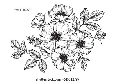 Wild rose flowers drawing and sketch with line-art on white backgrounds.