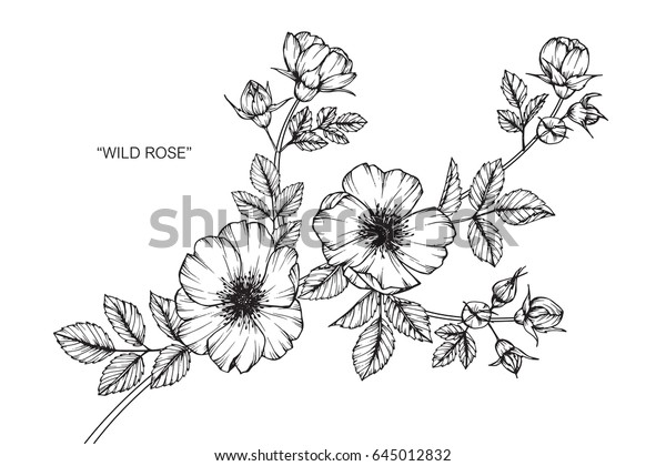 Wild Rose Flowers Drawing Sketch Lineart Stock Vector