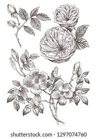 Wild roses blossom branch isolated on white. Vintage botanical hand drawn illustration. Spring flowers of garden rose, dog rose. Vector design. Can use for greeting cards, wedding invitations