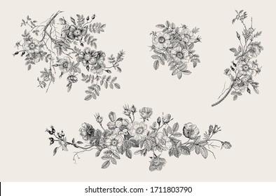 Wild roses. Botanical floral vector illustration. Set. Black and whie