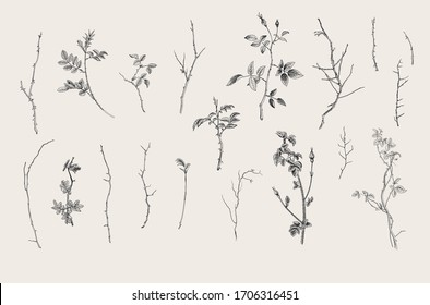 Wild roses. Floral elements. Botanical vector illustration. Twigs, sticks. Black and white