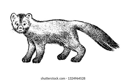 Wild sable, forest animal. Symbol of the north. Vintage monochrome style. Mammal in Europe, Russia, from the Ural Mountains. Engraved hand drawn sketch for banner or label.