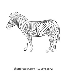 Wild vector Zebra. Hand draw sketch